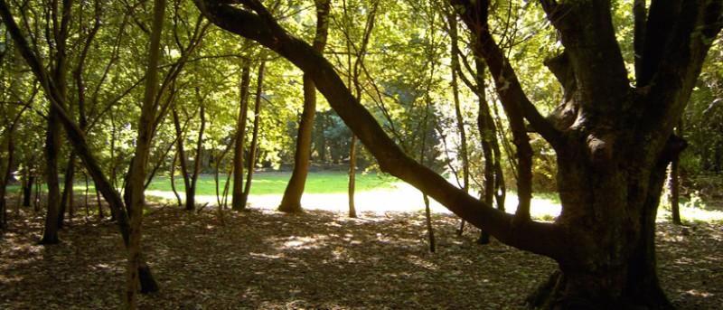 oaks-through-the-trees
